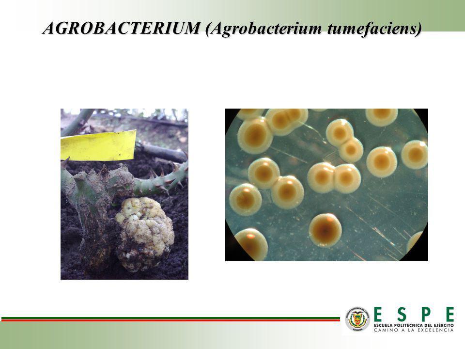 AGROBACTERIUM (Agrobacterium tumefaciens)