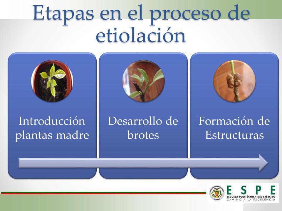 Etapas en el proceso de etiolación