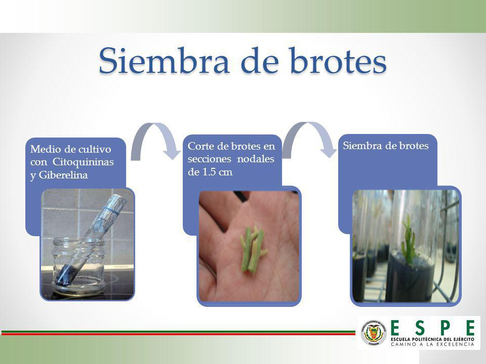 Siembra de brotes Medio de cultivo con Citoquininas y Giberelina
