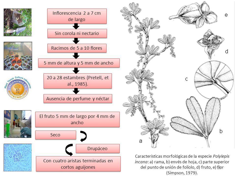 Inflorescencia 2 a 7 cm de largo