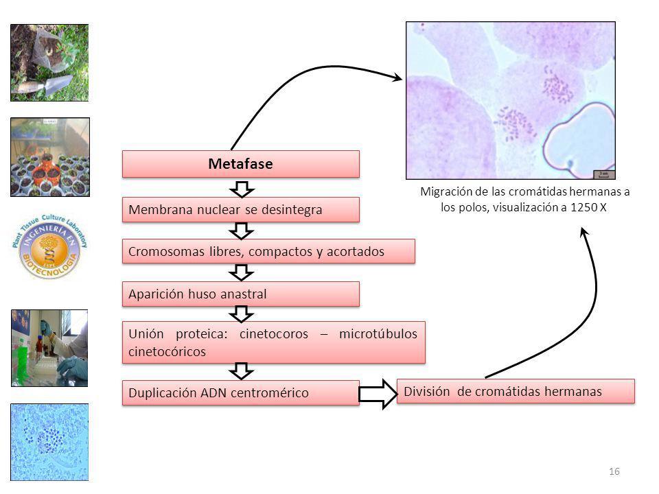 Metafase Membrana nuclear se desintegra