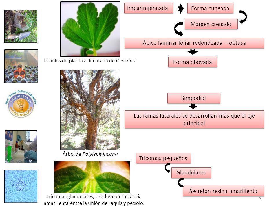 Ápice laminar foliar redondeada – obtusa