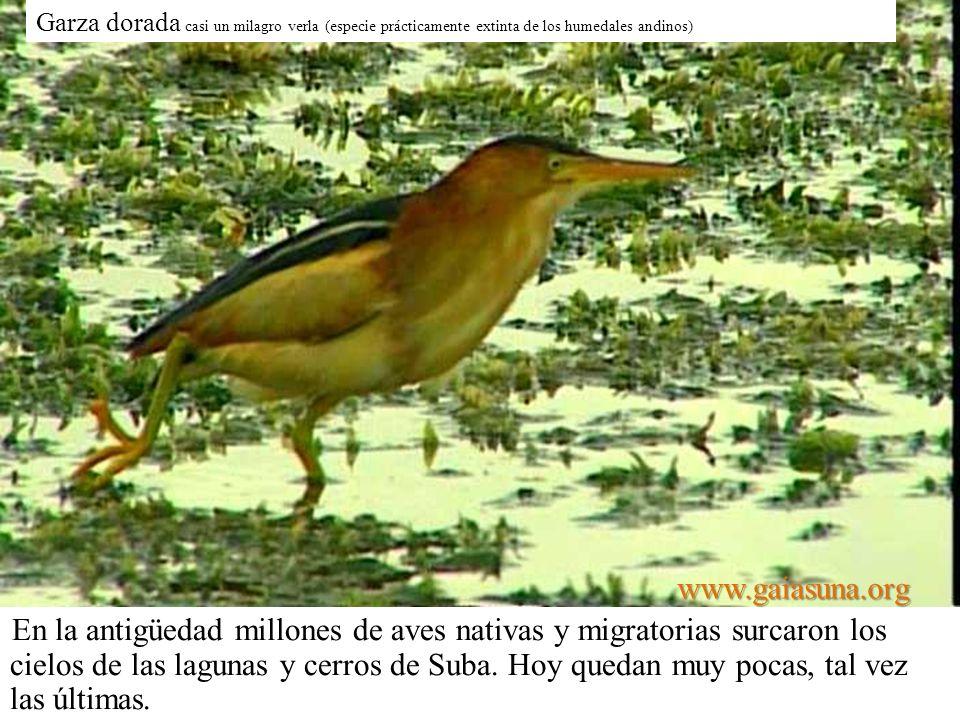 Garza dorada casi un milagro verla (especie prácticamente extinta de los humedales andinos)