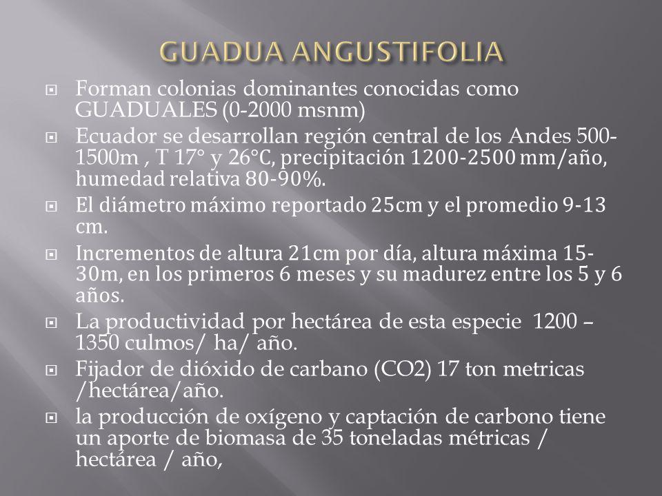 GUADUA ANGUSTIFOLIA Forman colonias dominantes conocidas como GUADUALES (0-2000 msnm)