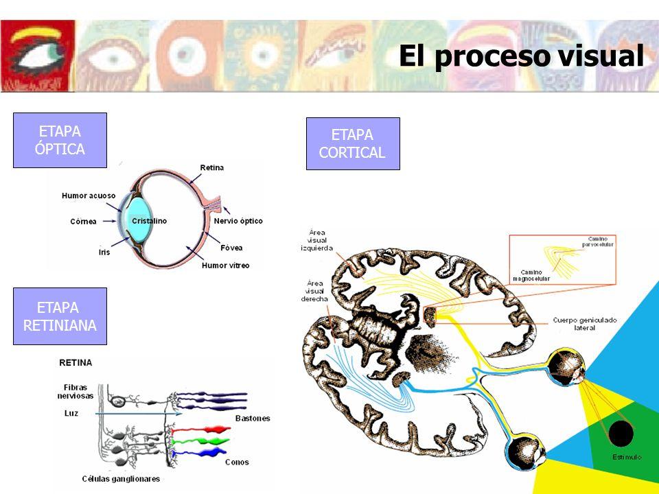 El proceso visual ETAPA ETAPA ÓPTICA CORTICAL ETAPA RETINIANA