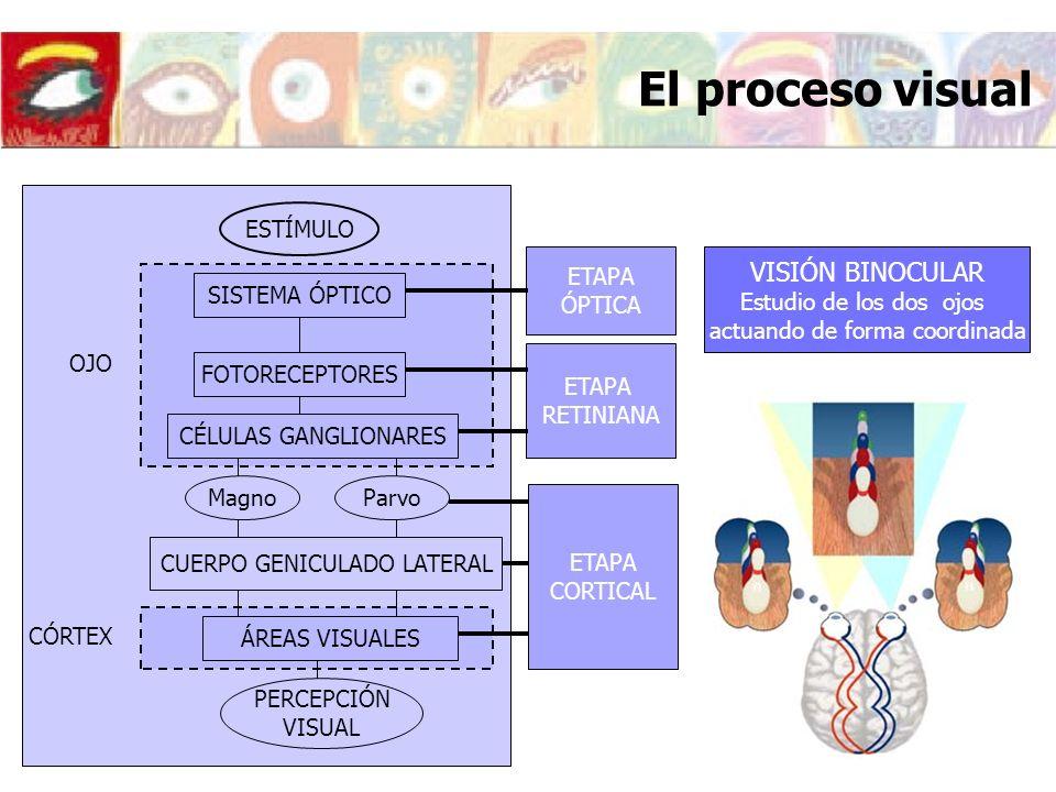 El proceso visual VISIÓN BINOCULAR ESTÍMULO SISTEMA ÓPTICO