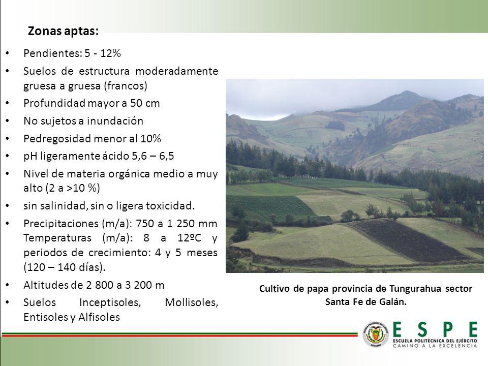 Cultivo de papa provincia de Tungurahua sector Santa Fe de Galán.