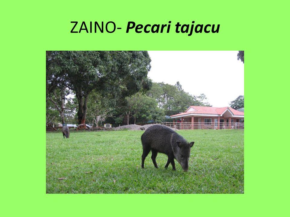 ZAINO- Pecari tajacu