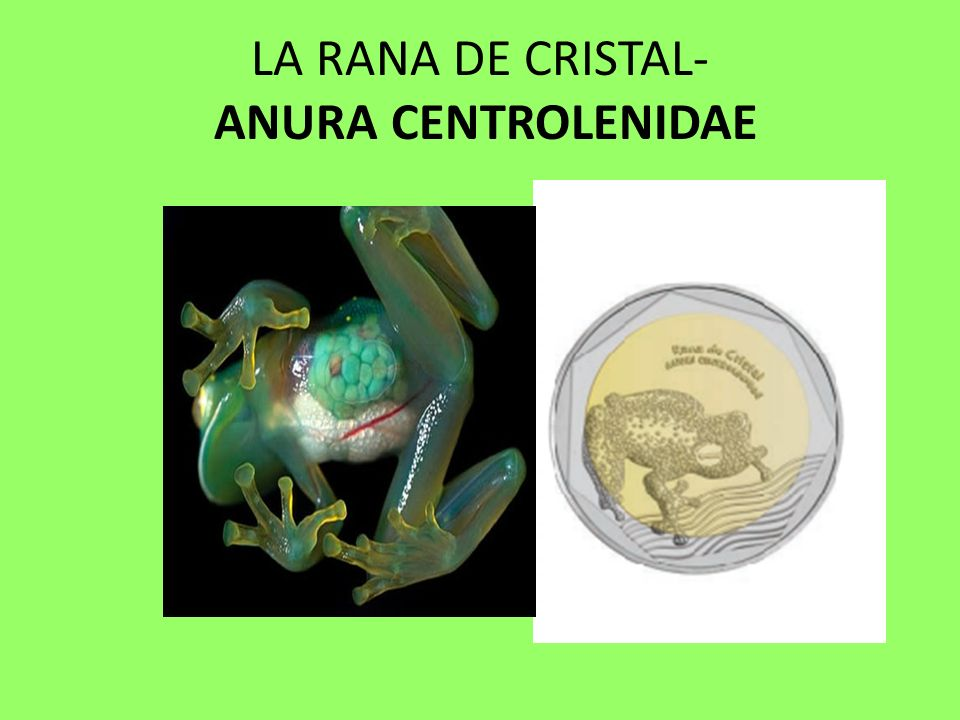 LA RANA DE CRISTAL- Anura Centrolenidae