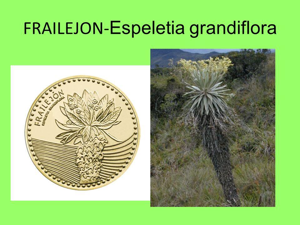 FRAILEJON-Espeletia grandiflora
