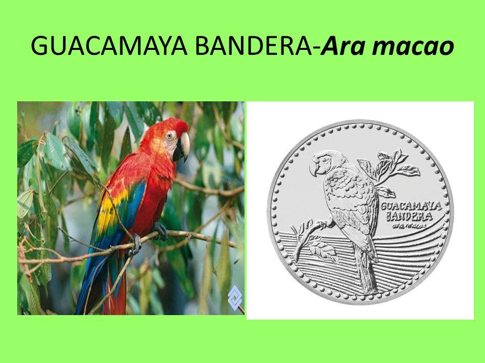 GUACAMAYA BANDERA-Ara macao