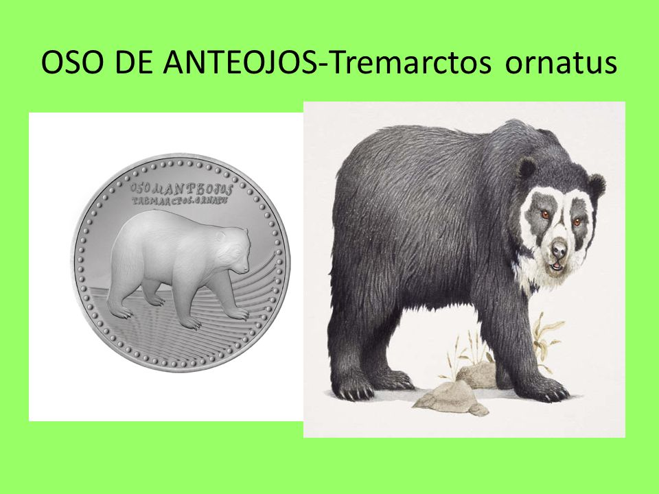 OSO DE ANTEOJOS-Tremarctos ornatus