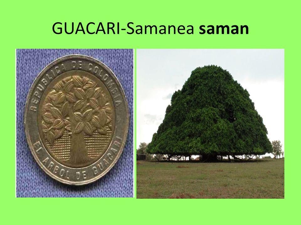 GUACARI-Samanea saman
