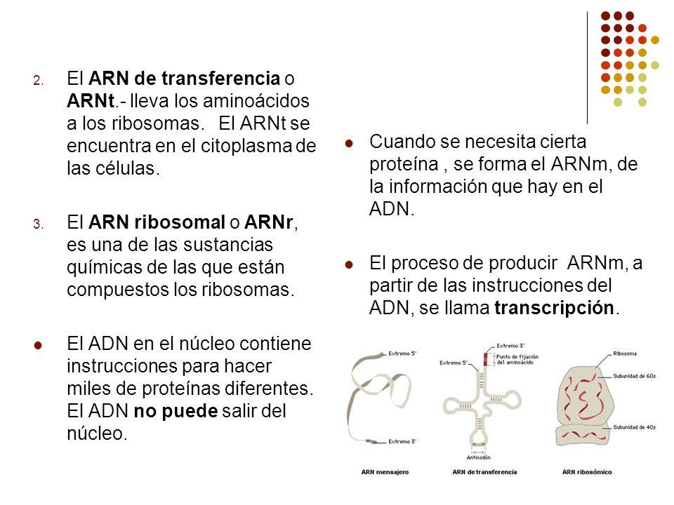 El ARN de transferencia o ARNt.- lleva los aminoácidos a los ribosomas. El ARNt se encuentra en el citoplasma de las células.