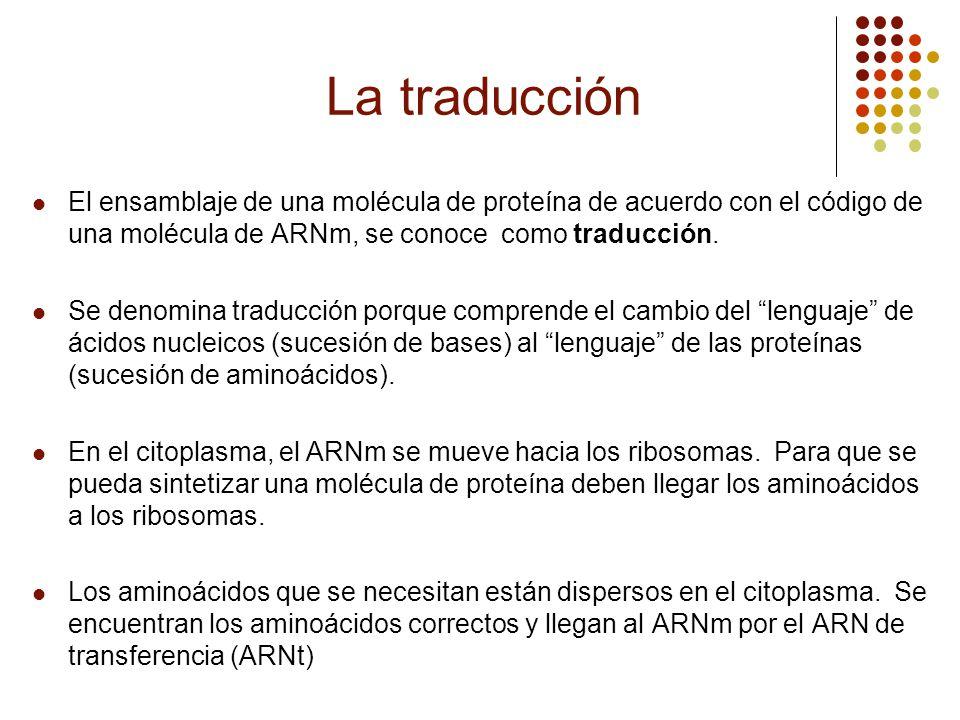 La traducción El ensamblaje de una molécula de proteína de acuerdo con el código de una molécula de ARNm, se conoce como traducción.
