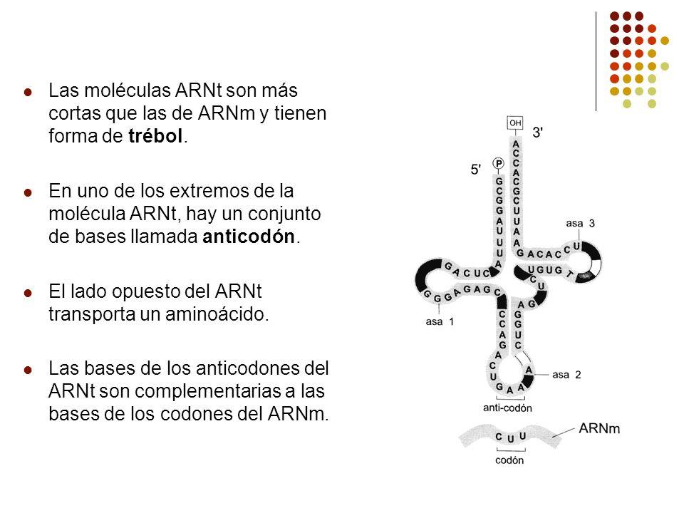 Las moléculas ARNt son más cortas que las de ARNm y tienen forma de trébol.