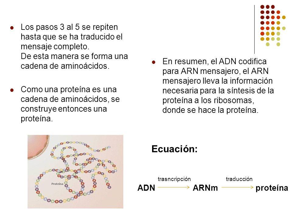 Los pasos 3 al 5 se repiten hasta que se ha traducido el mensaje completo. De esta manera se forma una cadena de aminoácidos.