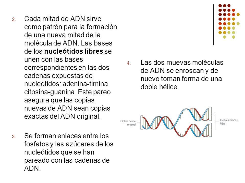 Cada mitad de ADN sirve como patrón para la formación de una nueva mitad de la molécula de ADN. Las bases de los nucleótidos libres se unen con las bases correspondientes en las dos cadenas expuestas de nucleótidos: adenina-timina, citosina-guanina. Este pareo asegura que las copias nuevas de ADN sean copias exactas del ADN original.