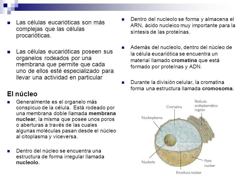Dentro del nucleolo se forma y almacena el ARN, ácido nucleico muy importante para la síntesis de las proteínas.