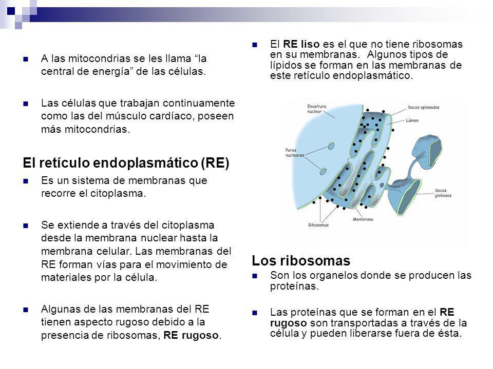 El retículo endoplasmático (RE)