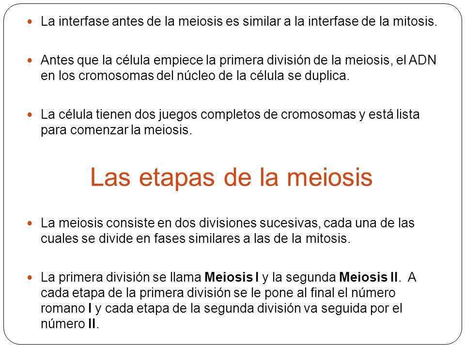 Las etapas de la meiosis