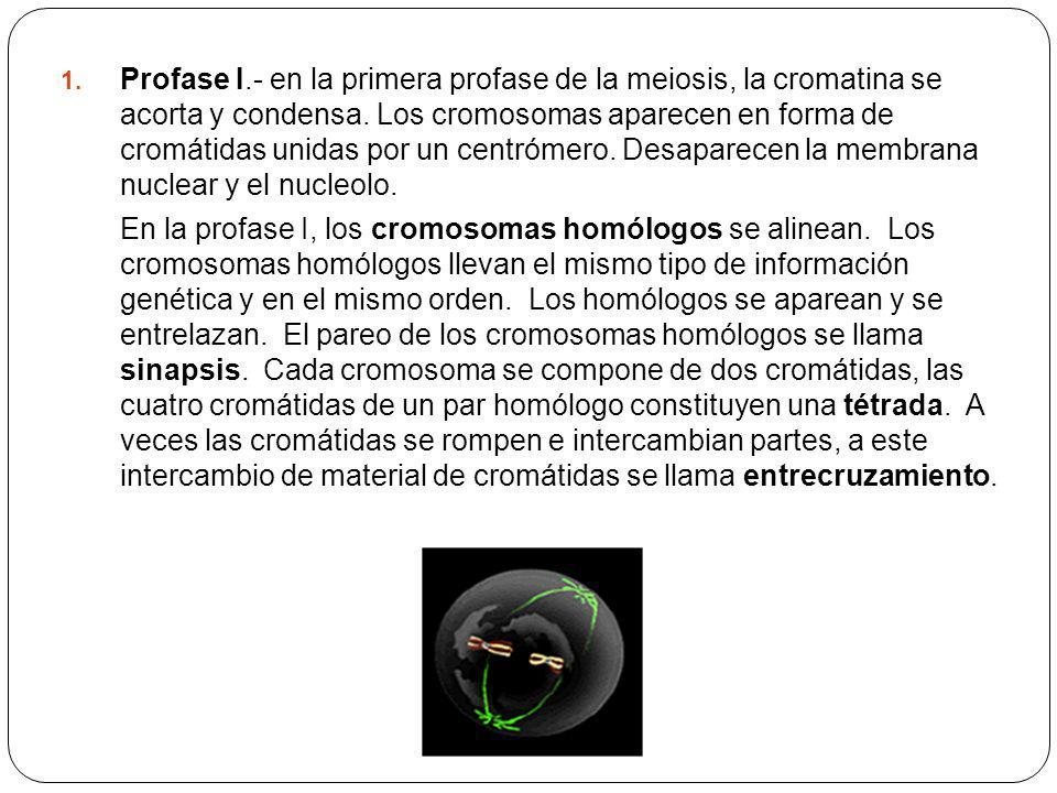 Profase I.- en la primera profase de la meiosis, la cromatina se acorta y condensa. Los cromosomas aparecen en forma de cromátidas unidas por un centrómero. Desaparecen la membrana nuclear y el nucleolo.