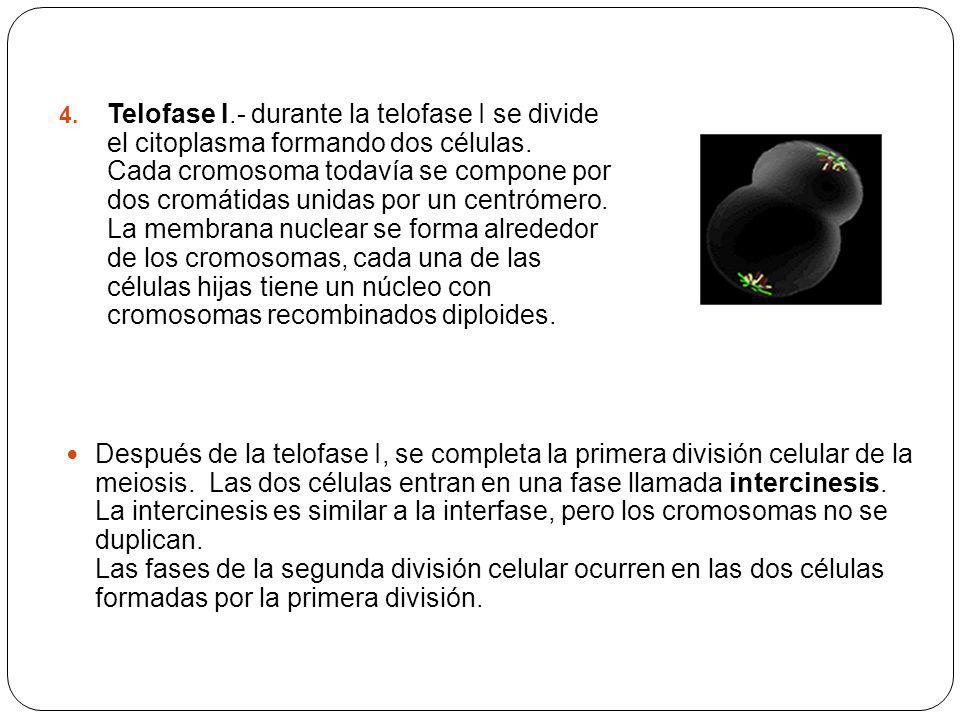 Telofase I.- durante la telofase I se divide el citoplasma formando dos células. Cada cromosoma todavía se compone por dos cromátidas unidas por un centrómero. La membrana nuclear se forma alrededor de los cromosomas, cada una de las células hijas tiene un núcleo con cromosomas recombinados diploides.