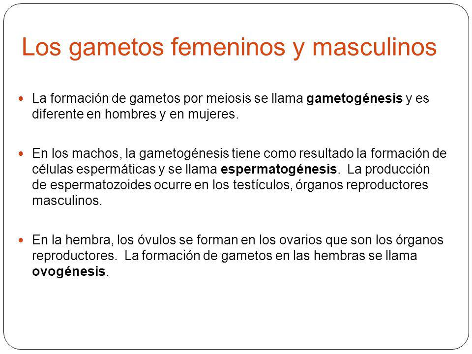 Los gametos femeninos y masculinos