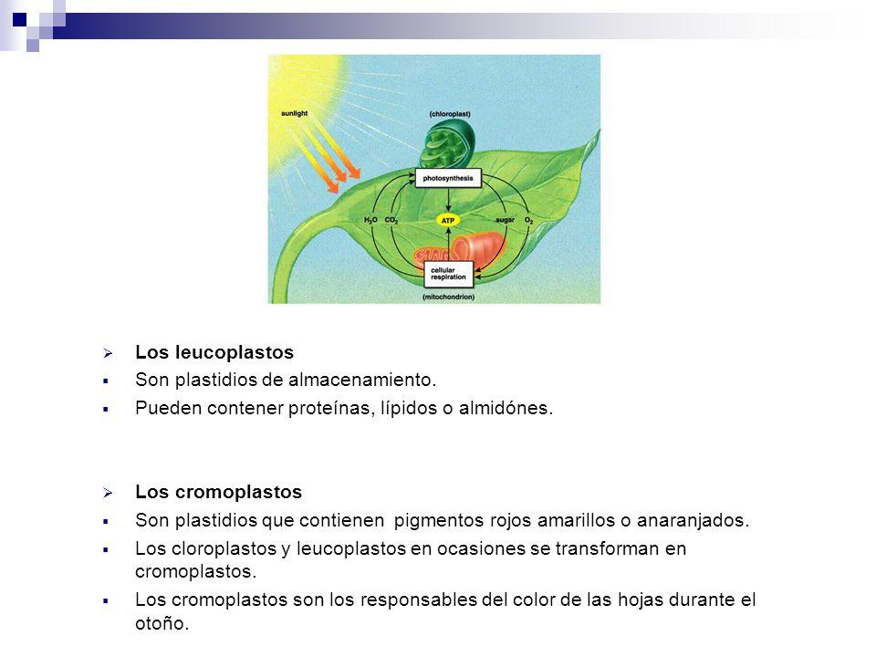 Los leucoplastos Son plastidios de almacenamiento. Pueden contener proteínas, lípidos o almidónes.