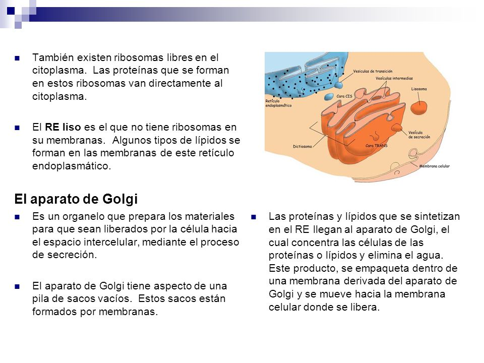 Las proteínas y lípidos que se sintetizan en el RE llegan al aparato de Golgi, el cual concentra las células de las proteínas o lípidos y elimina el agua. Este producto, se empaqueta dentro de una membrana derivada del aparato de Golgi y se mueve hacia la membrana celular donde se libera.