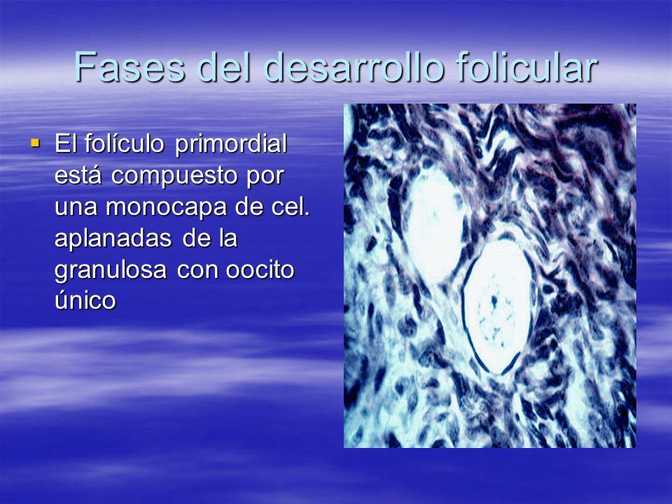 Fases del desarrollo folicular