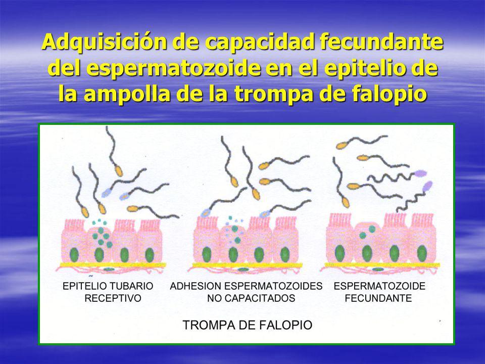 Adquisición de capacidad fecundante del espermatozoide en el epitelio de la ampolla de la trompa de falopio