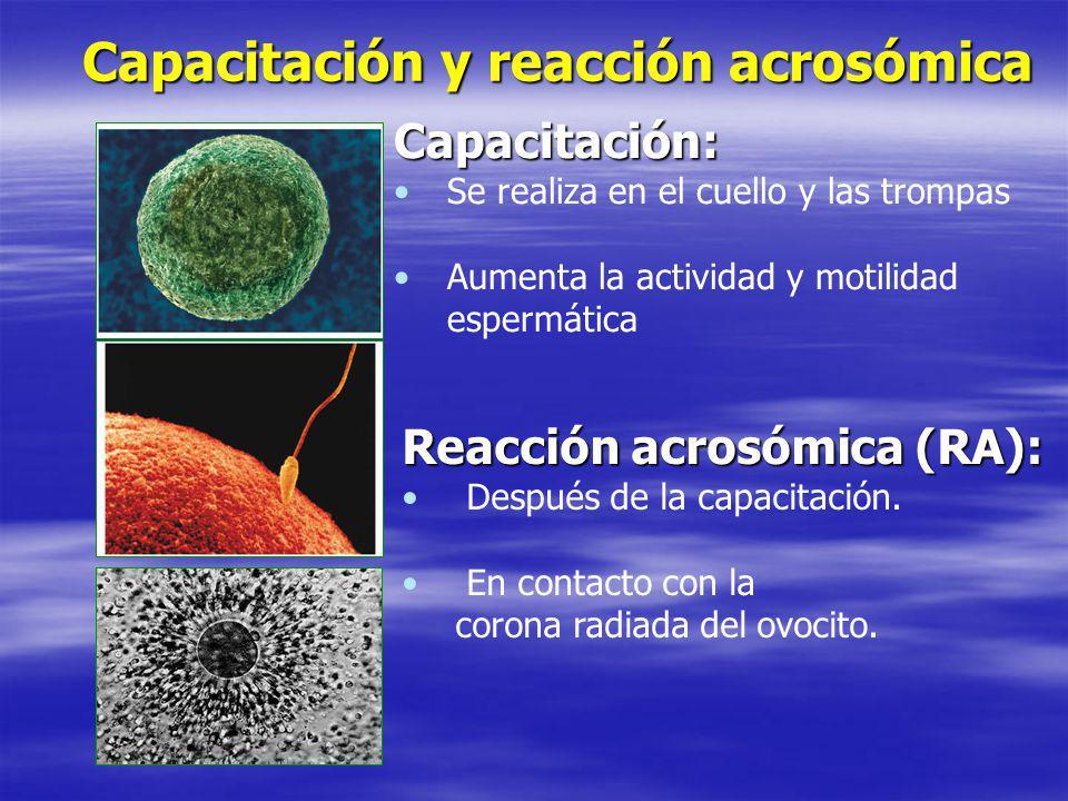 Capacitación y reacción acrosómica