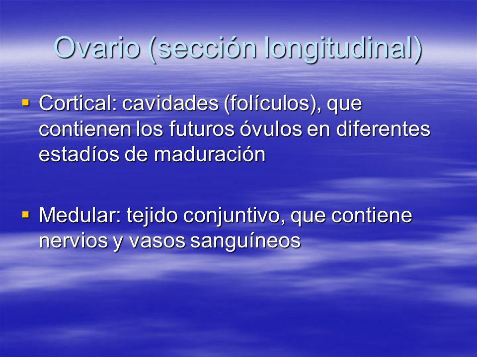 Ovario (sección longitudinal)