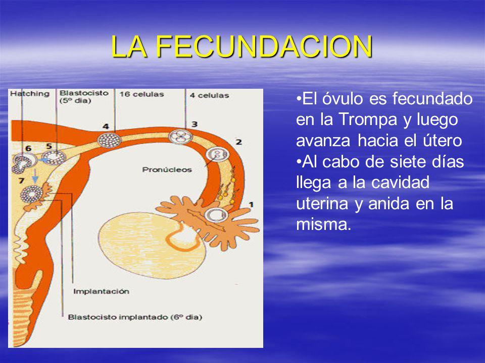 LA FECUNDACION El óvulo es fecundado en la Trompa y luego avanza hacia el útero.