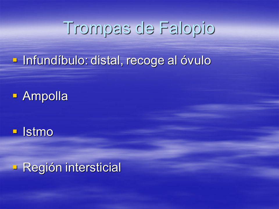 Trompas de Falopio Infundíbulo: distal, recoge al óvulo Ampolla Istmo