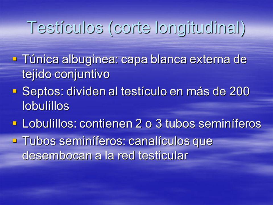 Testículos (corte longitudinal)