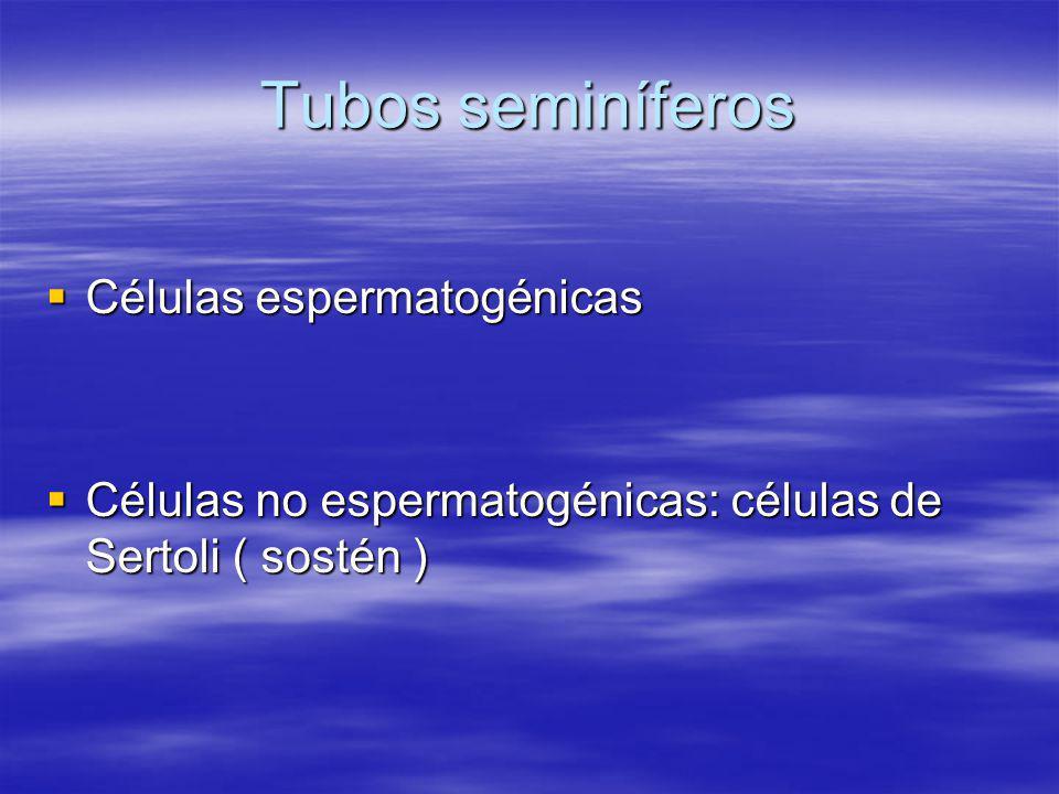 Tubos seminíferos Células espermatogénicas