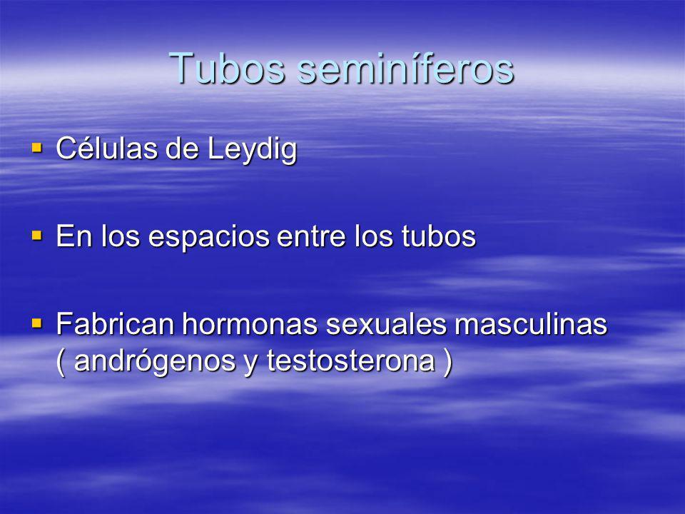 Tubos seminíferos Células de Leydig En los espacios entre los tubos