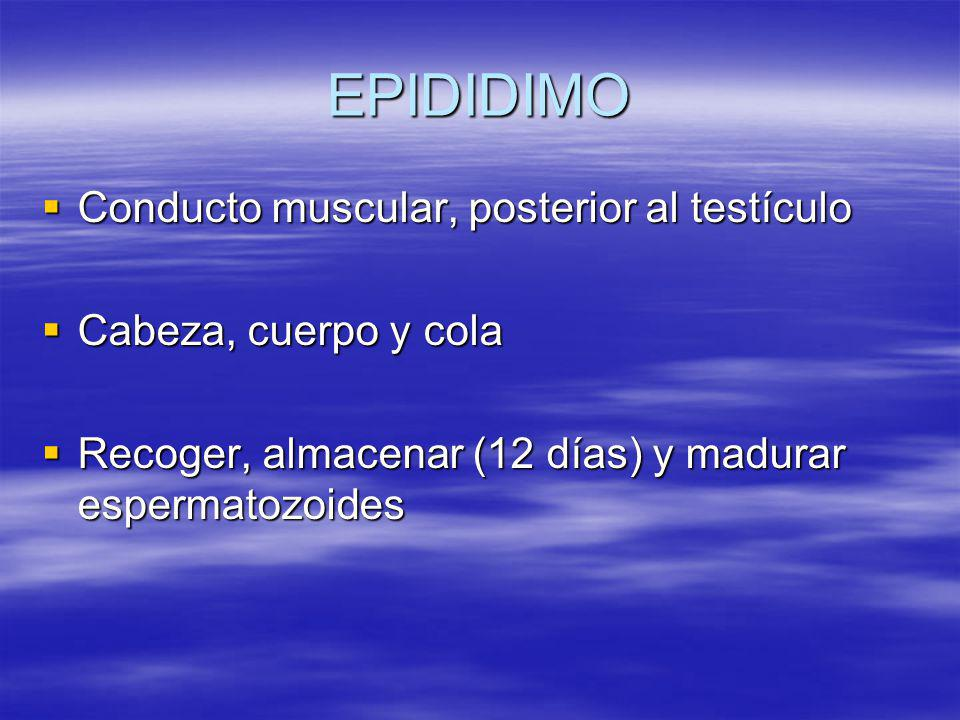 EPIDIDIMO Conducto muscular, posterior al testículo