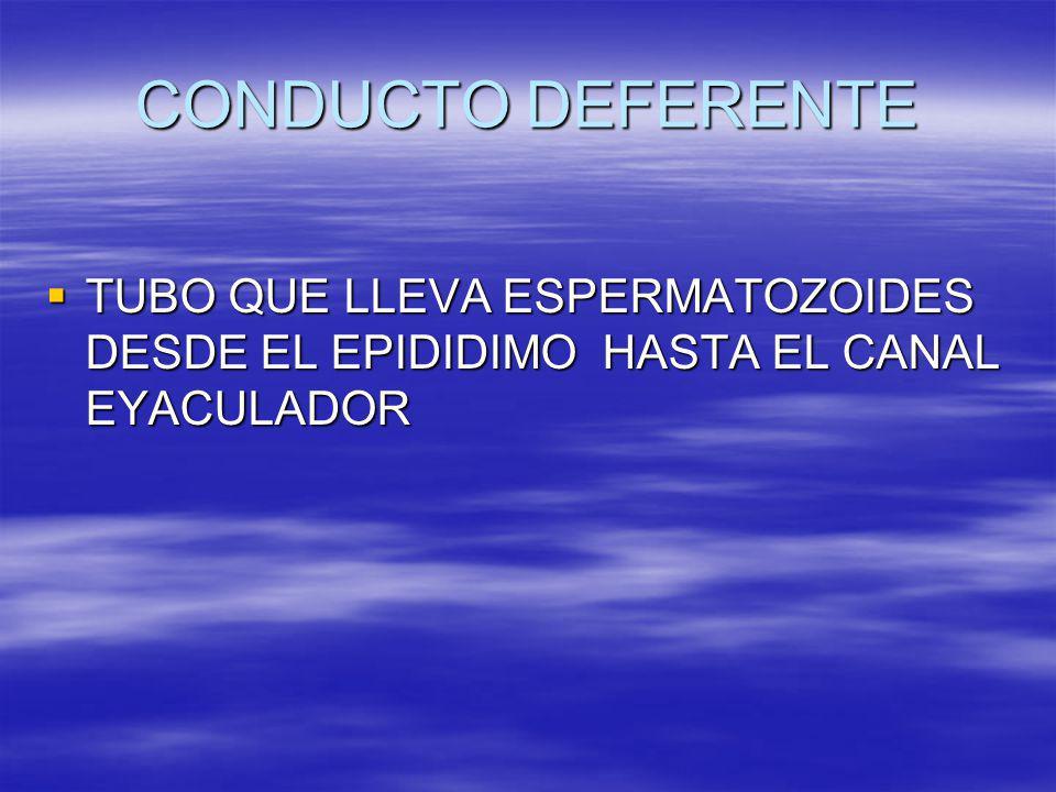 CONDUCTO DEFERENTE TUBO QUE LLEVA ESPERMATOZOIDES DESDE EL EPIDIDIMO HASTA EL CANAL EYACULADOR