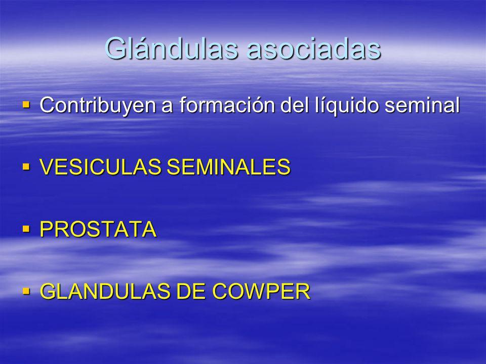 Glándulas asociadas Contribuyen a formación del líquido seminal