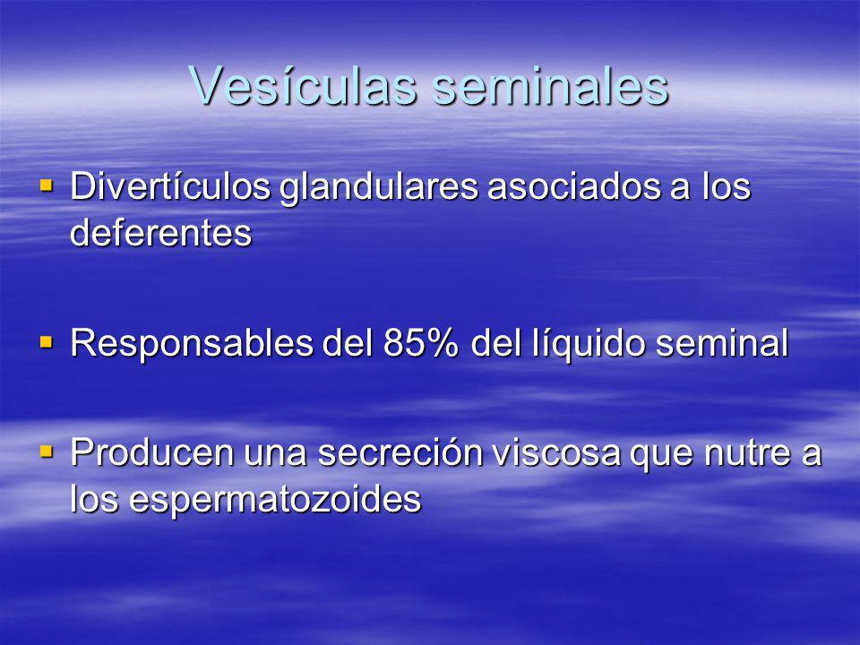 Vesículas seminales Divertículos glandulares asociados a los deferentes. Responsables del 85% del líquido seminal.