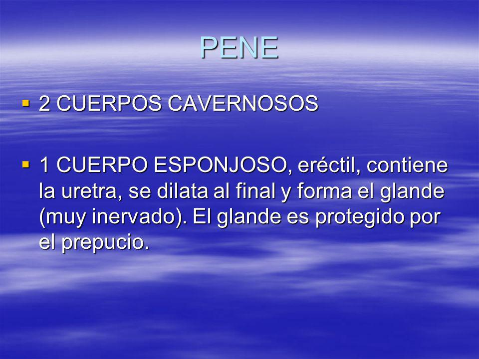 PENE 2 CUERPOS CAVERNOSOS