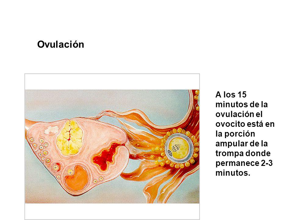 OvulaciónA los 15 minutos de la ovulación el ovocito está en la porción ampular de la trompa donde permanece 2-3 minutos.