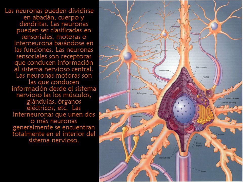 Las neuronas pueden dividirse en abadán, cuerpo y dendritas