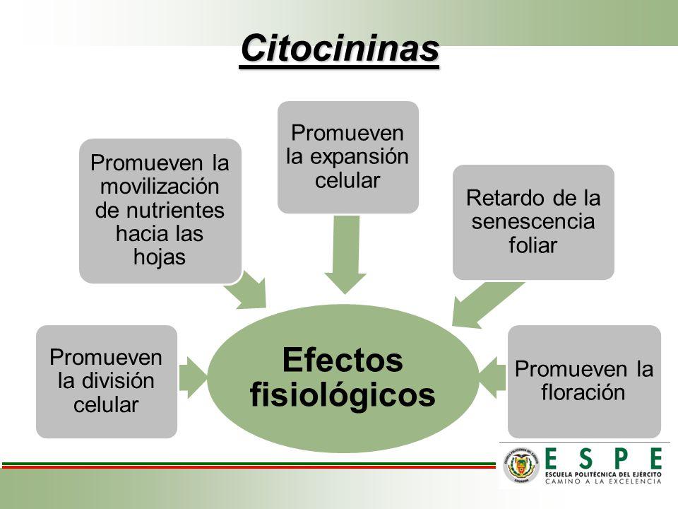Citocininas Efectos fisiológicos Promueven la división celular