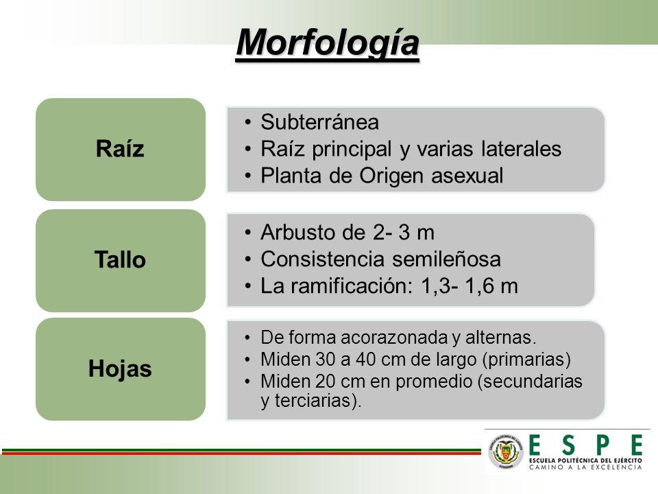 Morfología Raíz Tallo Hojas Subterránea