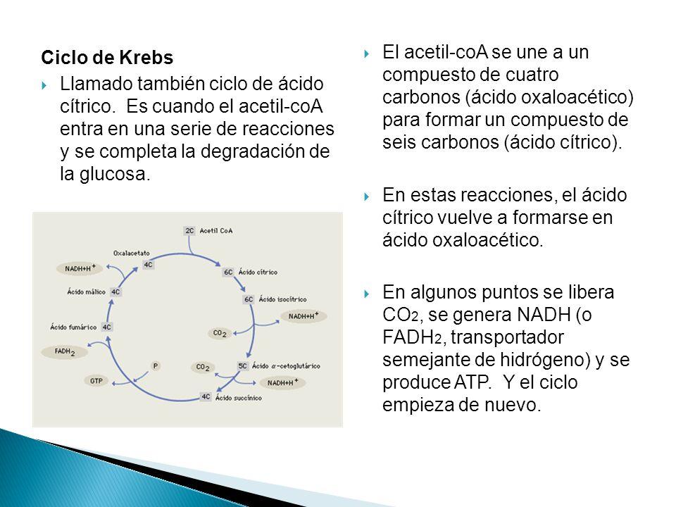 El acetil-coA se une a un compuesto de cuatro carbonos (ácido oxaloacético) para formar un compuesto de seis carbonos (ácido cítrico).