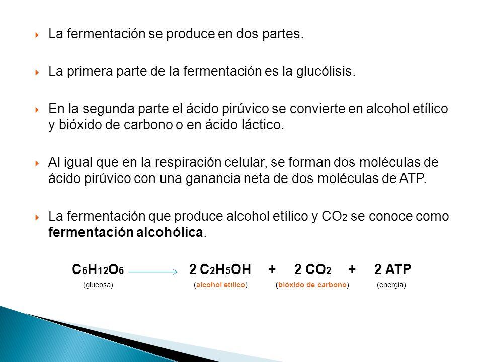 La fermentación se produce en dos partes.